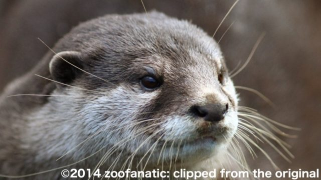 コツメカワウソ©2014 zoofanatic: clipped from the original
