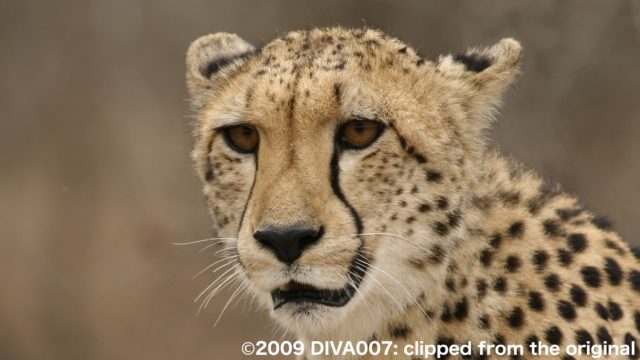 チーター©2009 DIVA007: clipped from the original