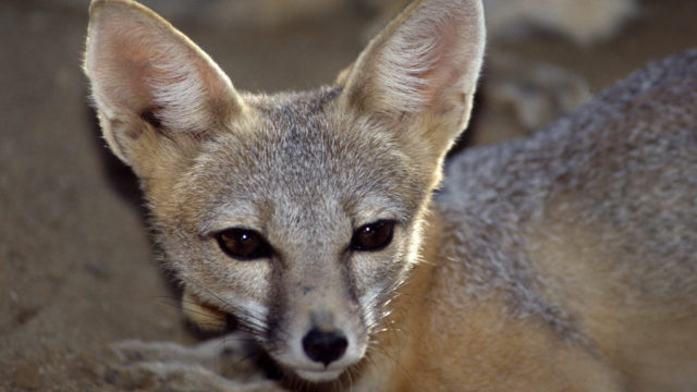 San Joaquin kit fox at the California Living Museum in Bakersfield